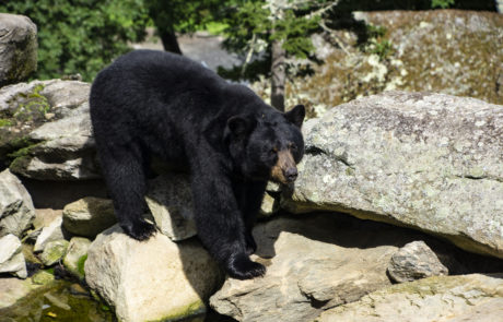 Grandfather Mountain Bear