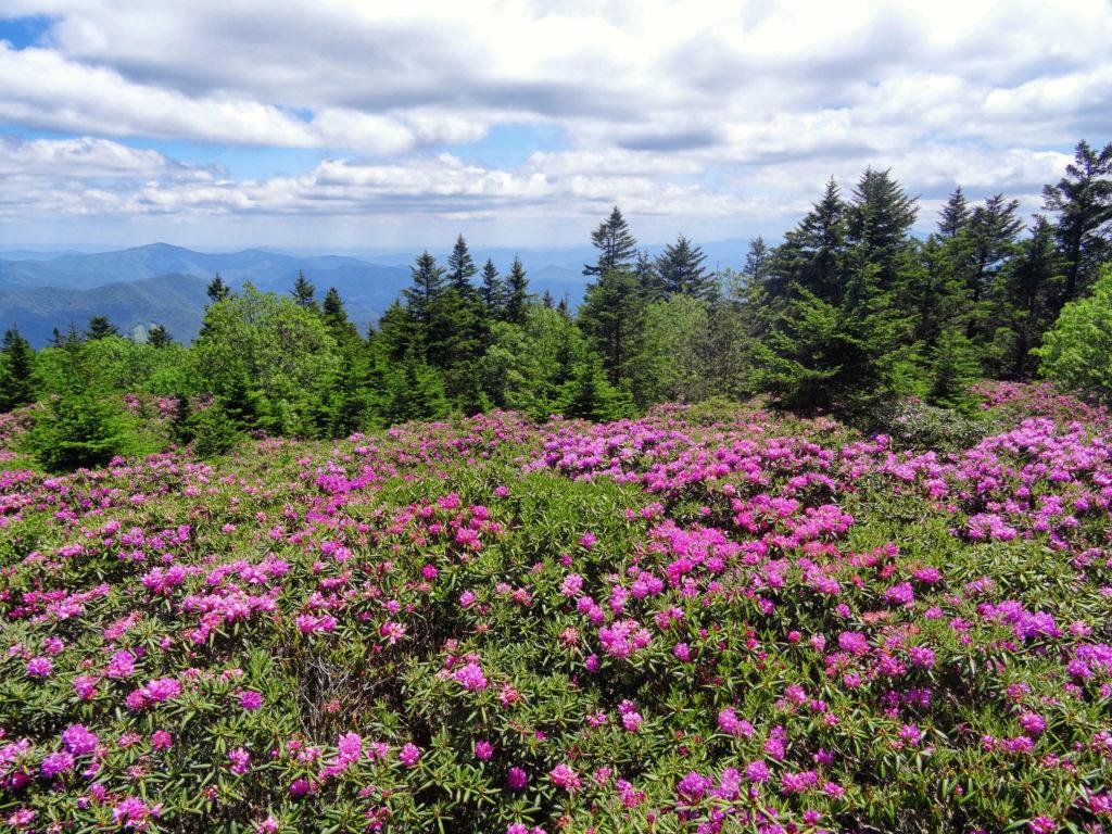 Roan Mountain in Bloom