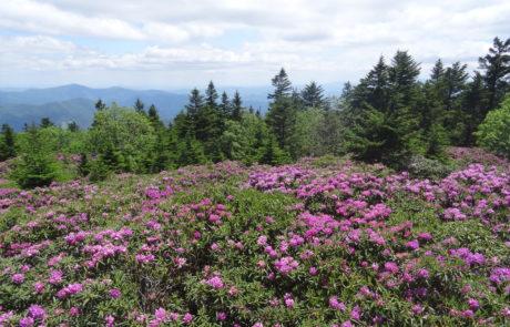 Roan Mountain Rhododendron Garden